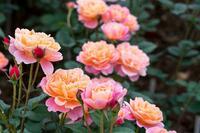 Rosen, Hortensien & Rhododendron: Tipps für die Gartenklassiker