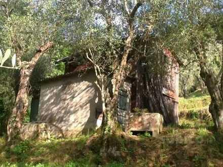 Toskana (Massarosa): gepflegtes Olivenbaumgrundstück