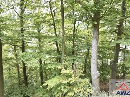 Schön gewachsener Buchen-Mischwald