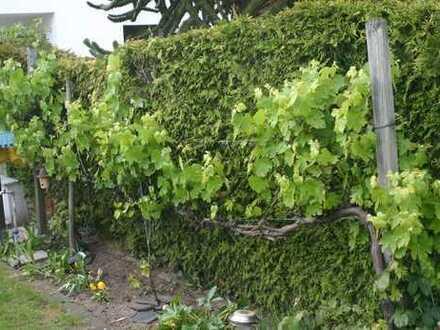 Ernte 2019: Weintrauben aus dem eigenen Garten!