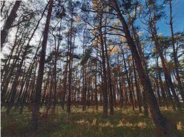 10.010 m² Wald mit Kiefern und Robinien in Rehfelde zu verkaufen