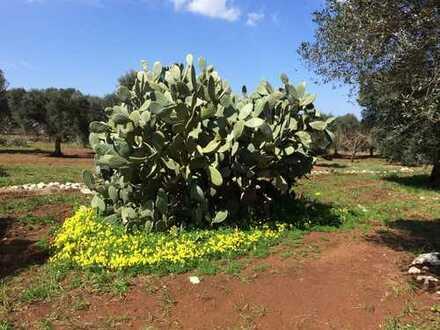 Bebaubarer Olivenhain, nahe dem Meer und 35 km zum Flughafen