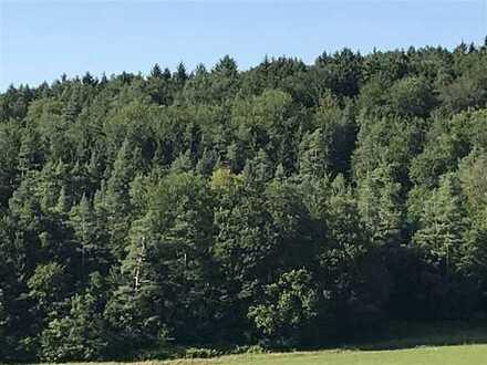 Mischwald Buchen Kiefern Fichtenbestand mit Naturverjüngung aus Buchen