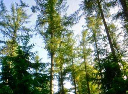 45527 Hattingen - Holthausen, sehr schönes Waldgrundstück/Lärche