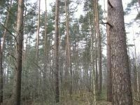 4 ha Nadelwald in 29223 Celle
