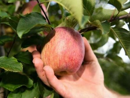 Apfelbäume zum Ernten gesucht!