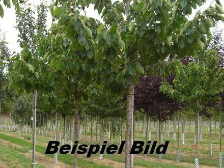 Landwirtschaftlichefläche mit Süßkirschbäumen
