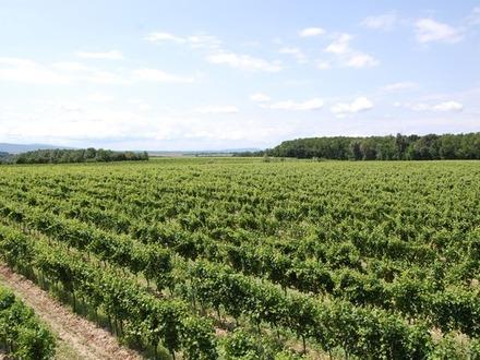 Weingärten in Langenlois