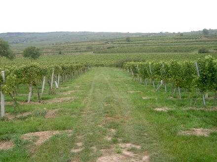Weingarten in Langenlois
