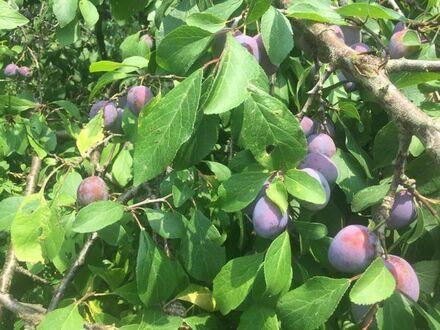 Garten mit Obstbäumen südwestlich von München zu verpachten
