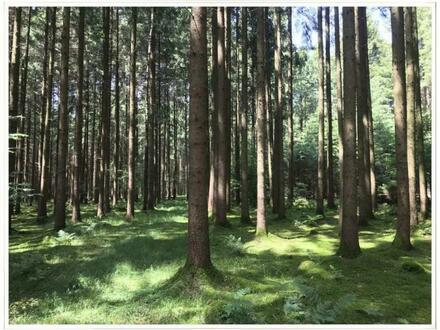 Fichtenwald bei Muttensweiler