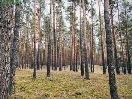 Wald mit 100-jährigen Bestand, Märkische Heide