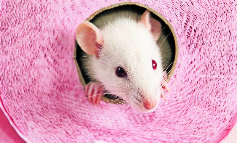Haustier Ratte