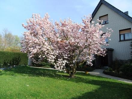 Magnolie im Vorgarten